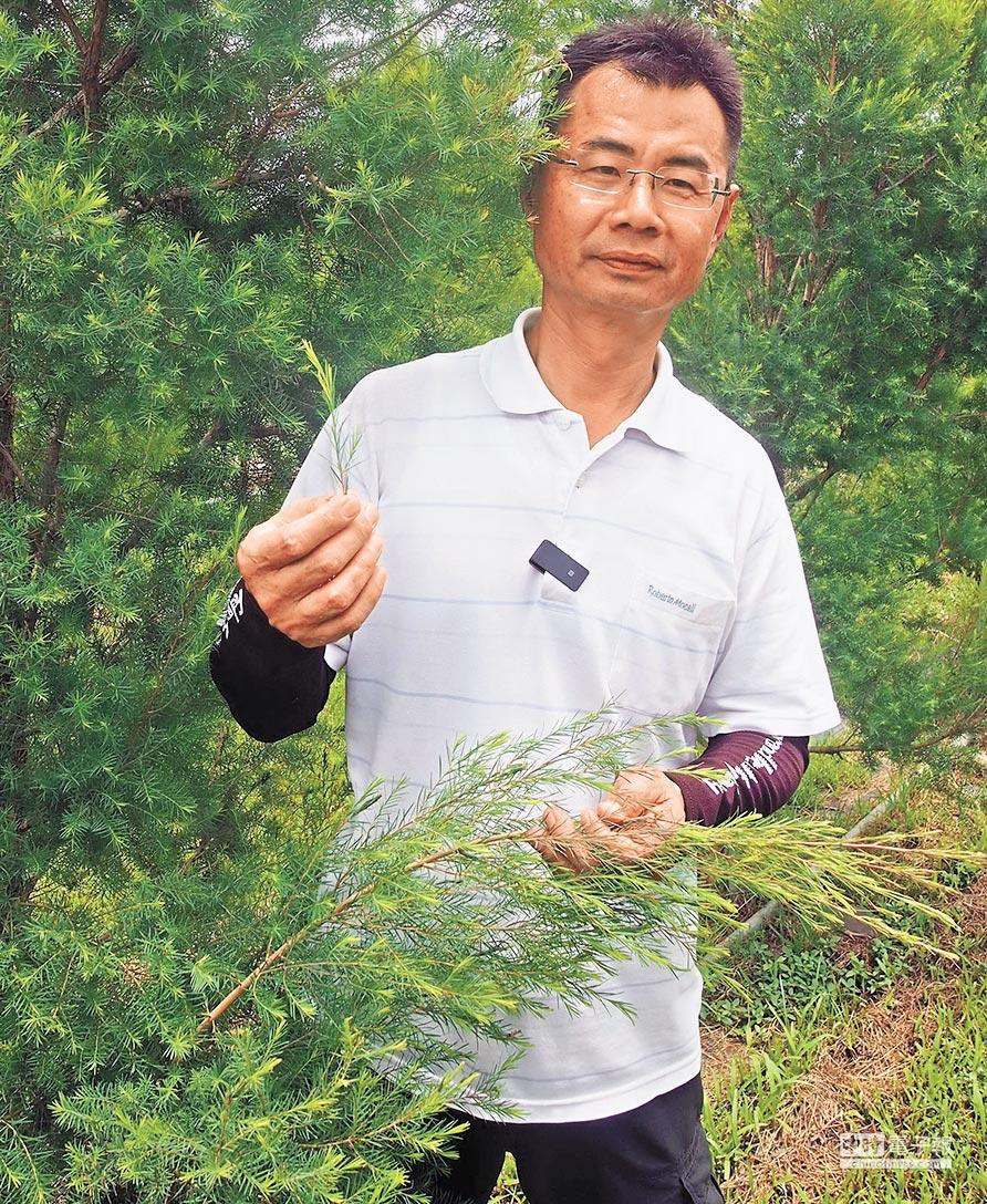 屏東農友陳林瑭馴化澳洲茶樹,成功從茶樹中萃取出茶樹精油,自創品牌行銷。(潘建志攝)